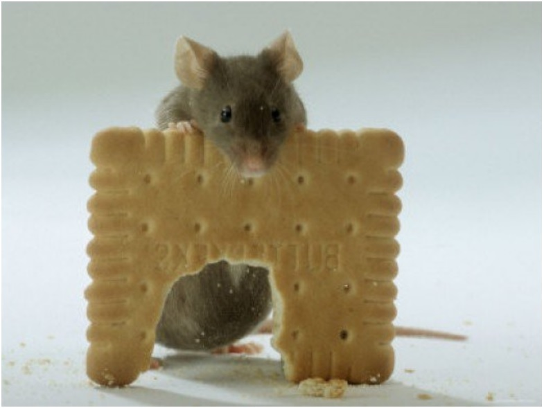 Mouse Eating Biscuit picture