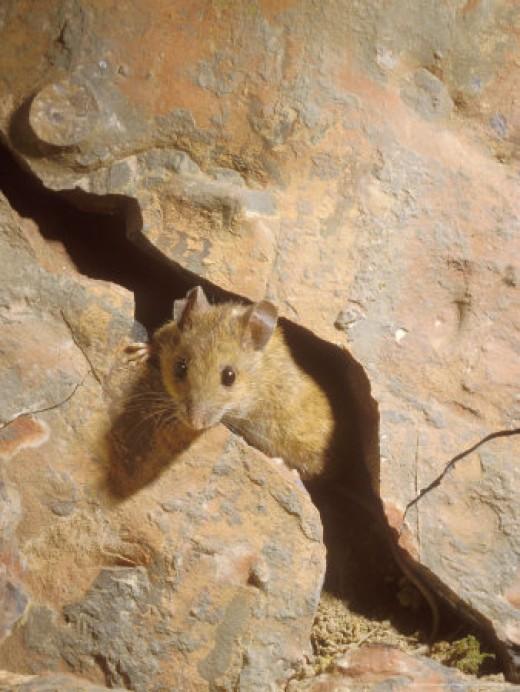 Wood Mouse Photo