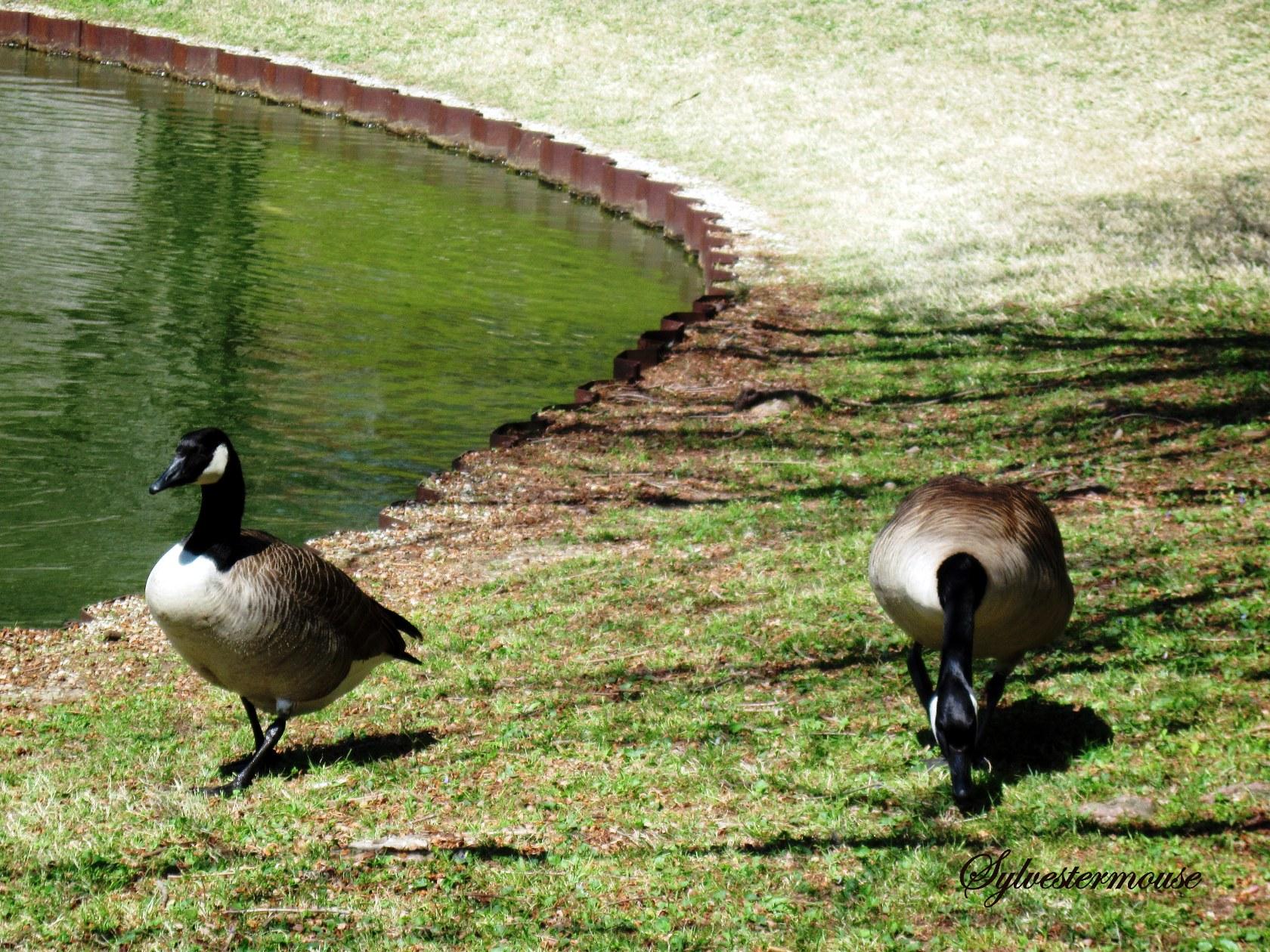 Canadian Geese at the Memphis Botanic Gardens