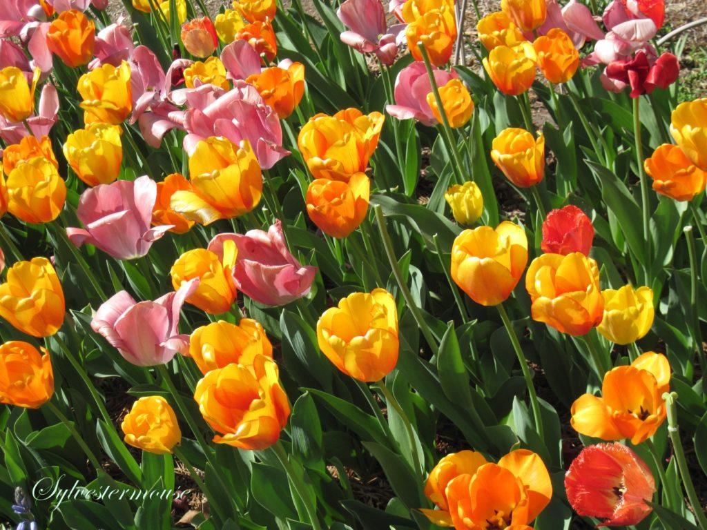 Memphis Botanic Gardens tulips