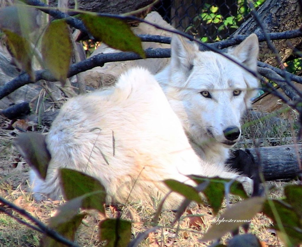 Gray Wolf Photo by Sylvestermouse