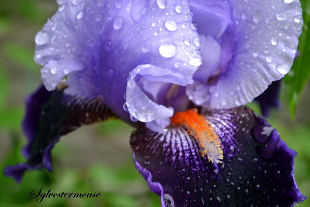 Iris Photo by Cynthia Sylvestermouse