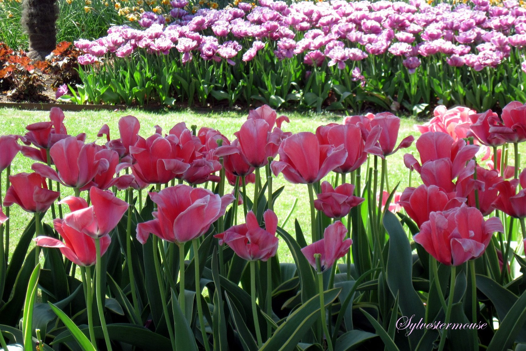 First Kiss of Spring - Tulips photo by Sylvestermouse