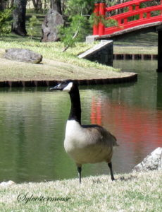 Single Canadian Goose photo by Sylvestermouse