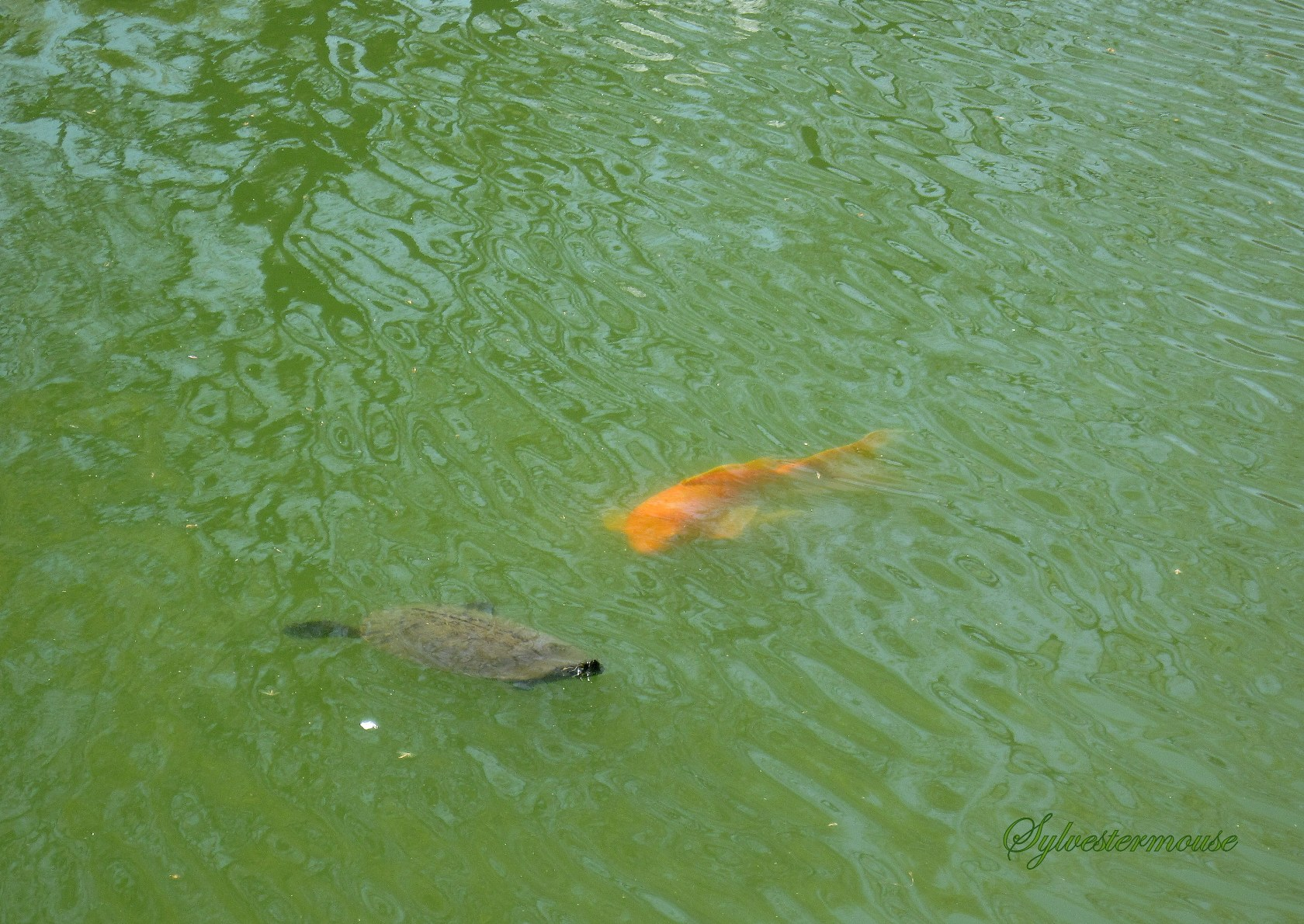Beneath the Surface photo of Turtle & Koi photo by Sylvestermouse