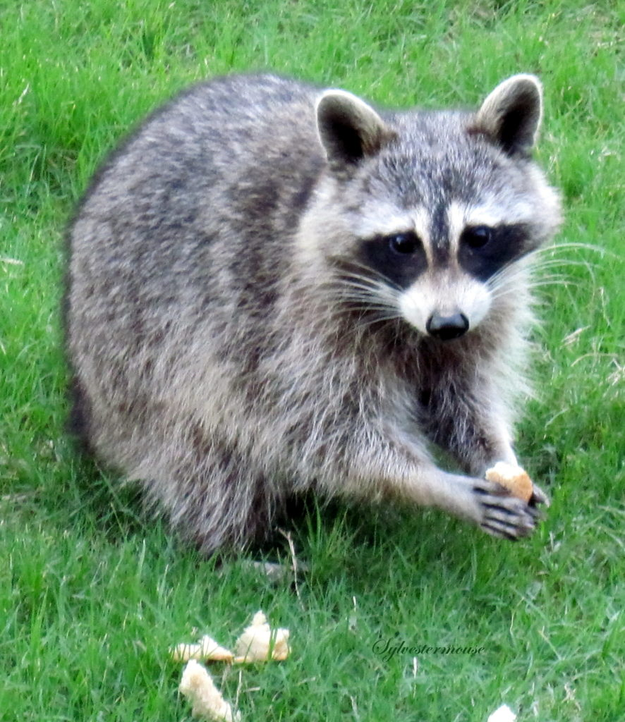 Raccoons - Backyard Wildlife
